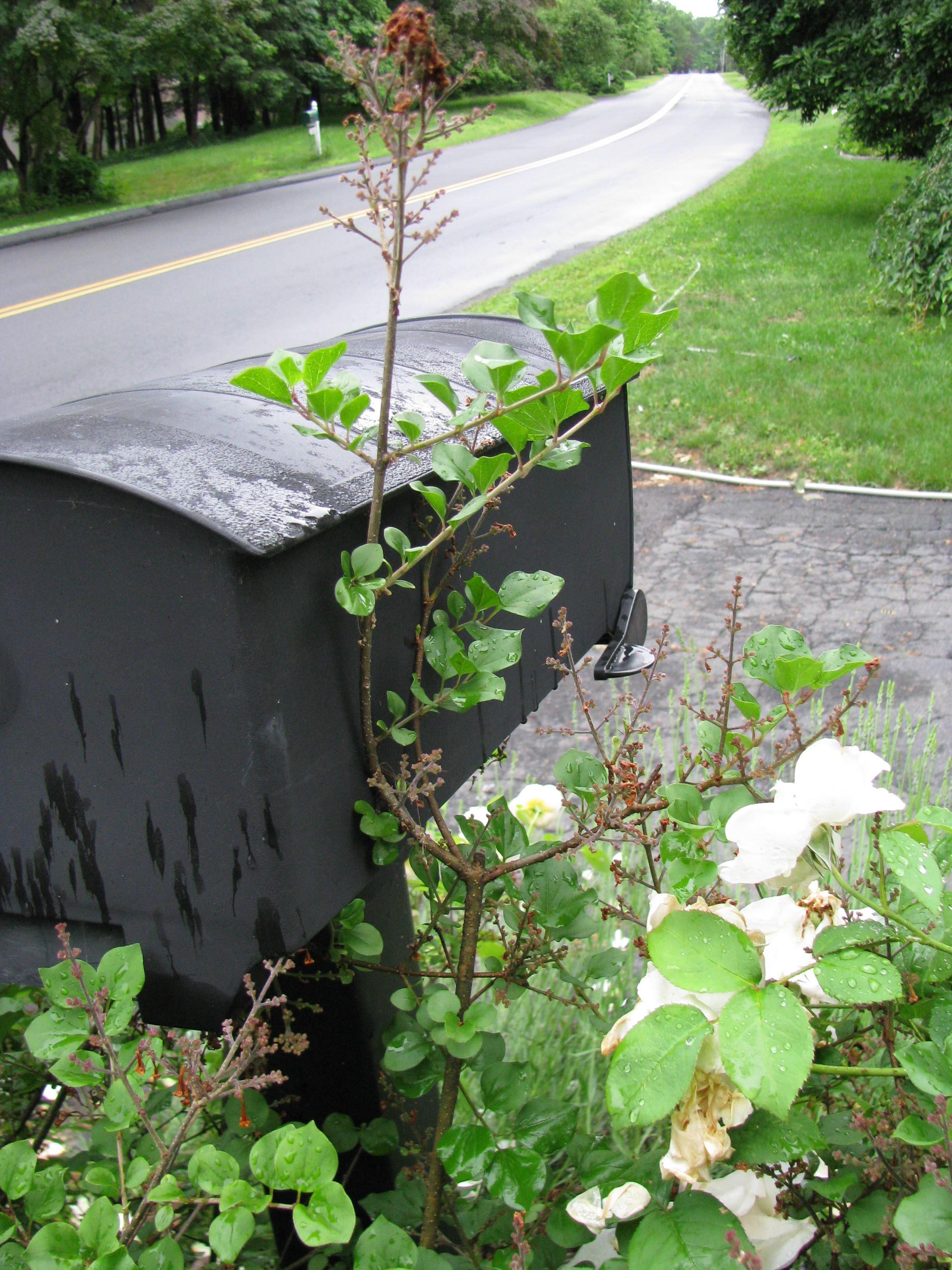 Pruning Dwarf Korean Lilac Gardendaze