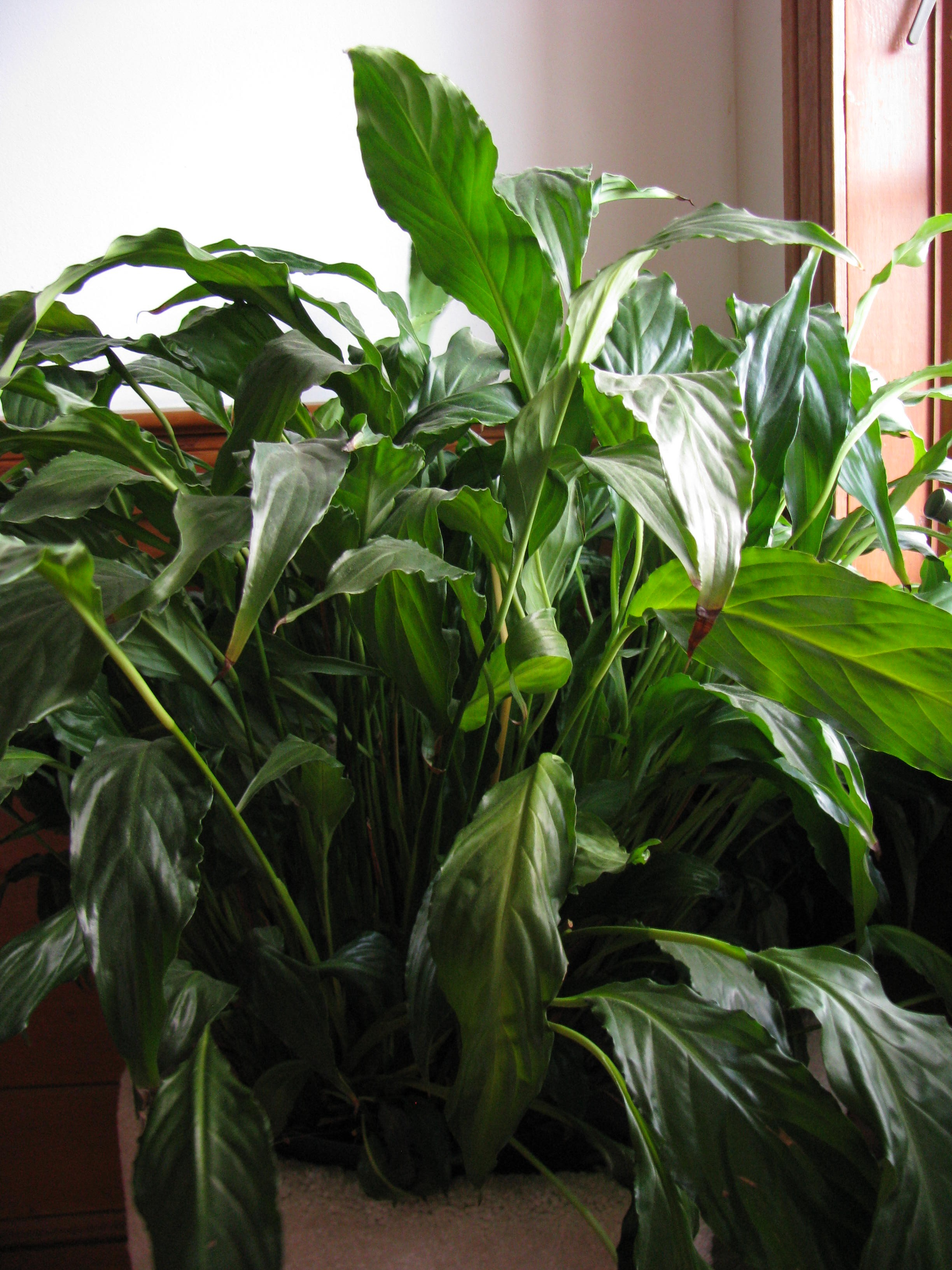 Exceptionnel ... Lily (also Known As White Sails And Botanically Known As Spathiphyllum)  I Tell Them That They Will Grow Just About Any Place, Including In A Closet.