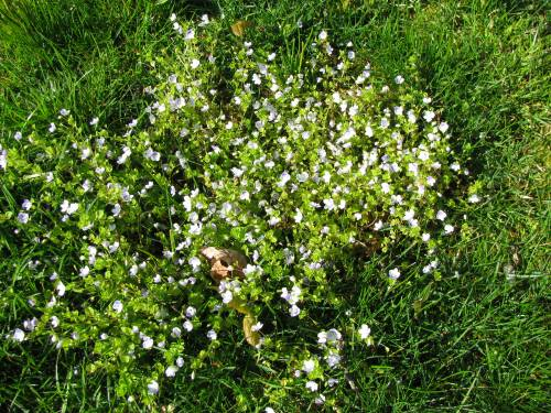 how to get rid of blue flowering weed from lawn
