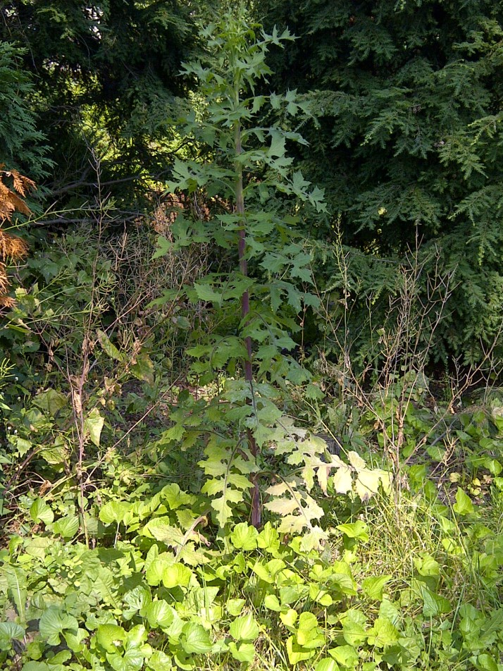 how to get rid of prickly lettuce