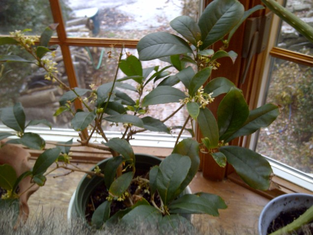 Fragrant olive in bloom