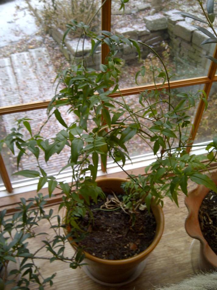 Flowering jasmine--not yet in bloom