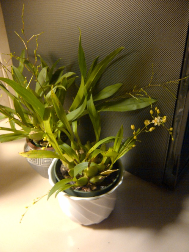 two oncidium 'Twinkle'
