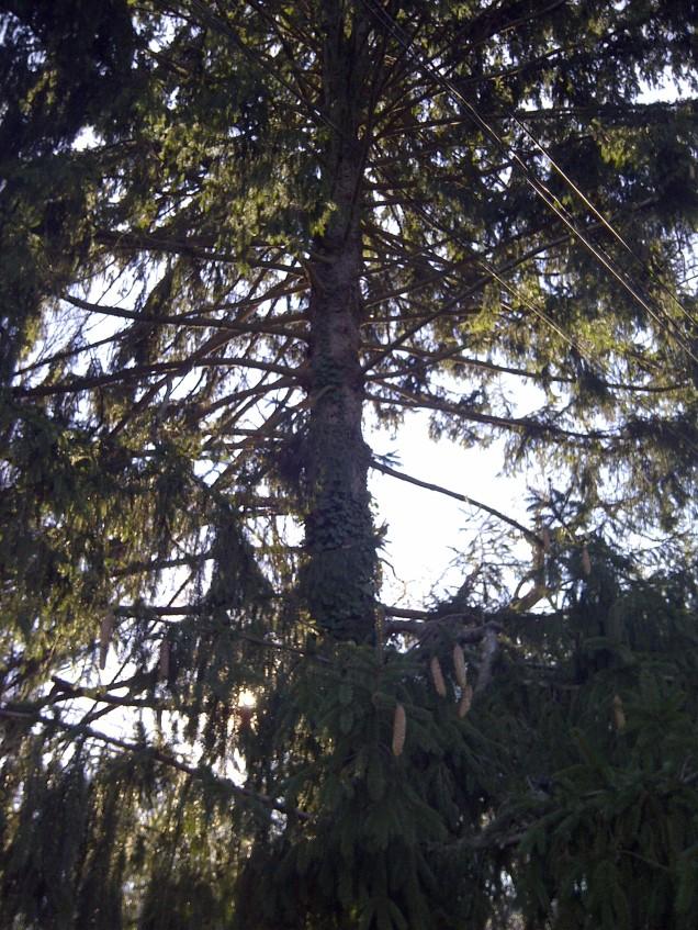 Inside a Spruce