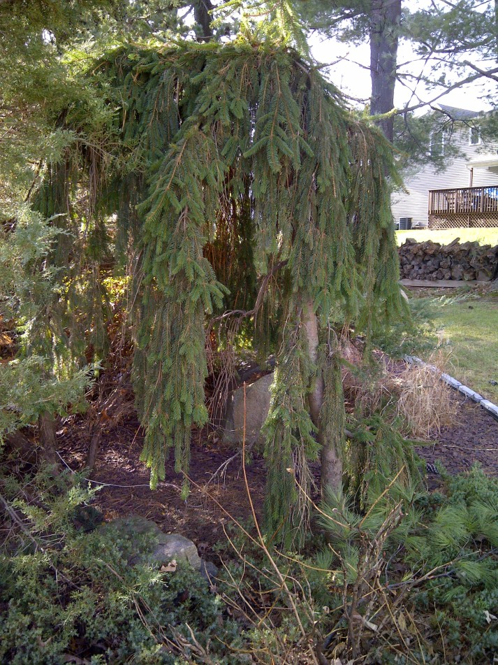 weeping norway spruce