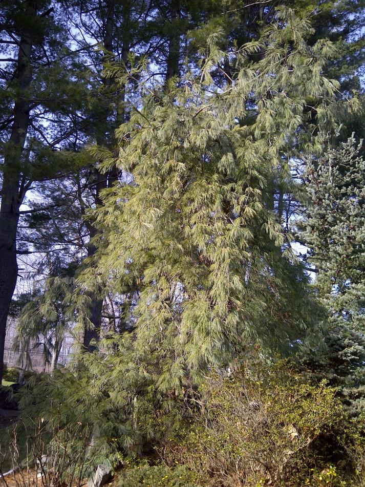 Weeping white pine