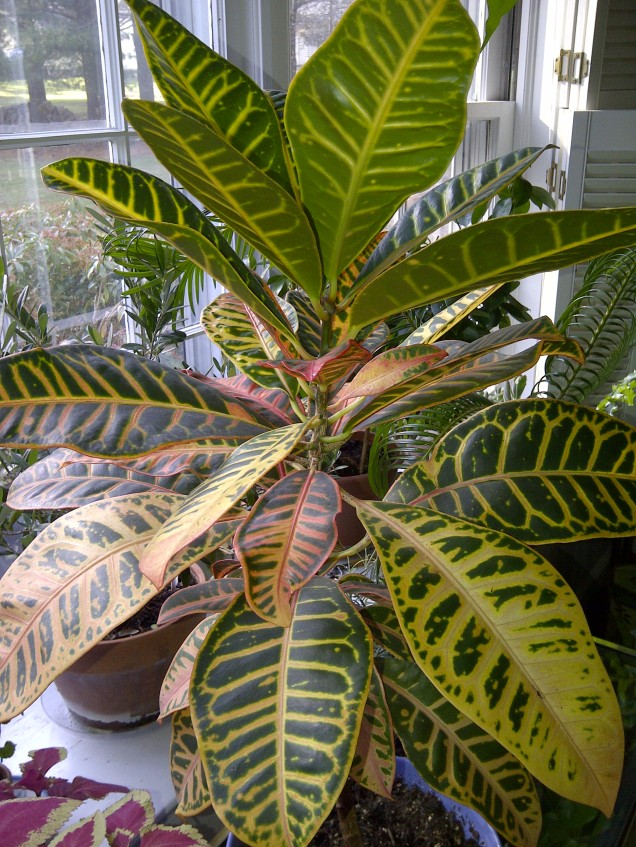 A larger croton