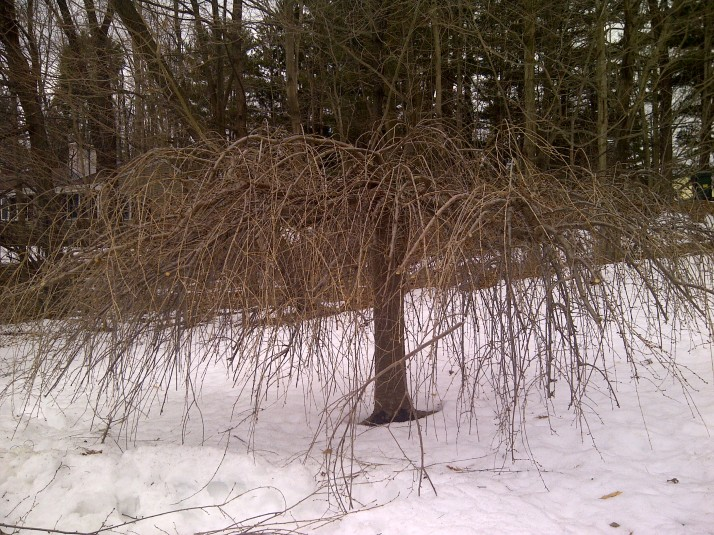 pruned weeping cherry
