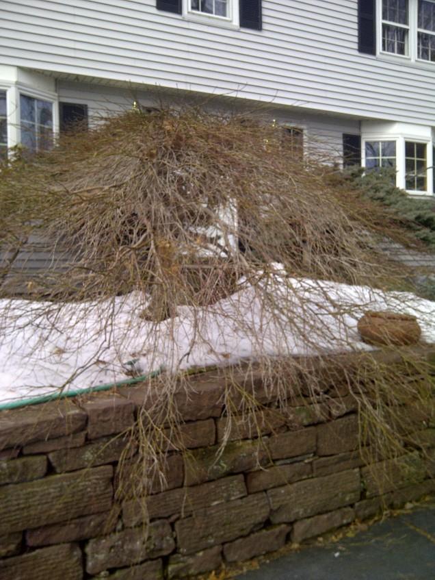 Unpruned maple--front view