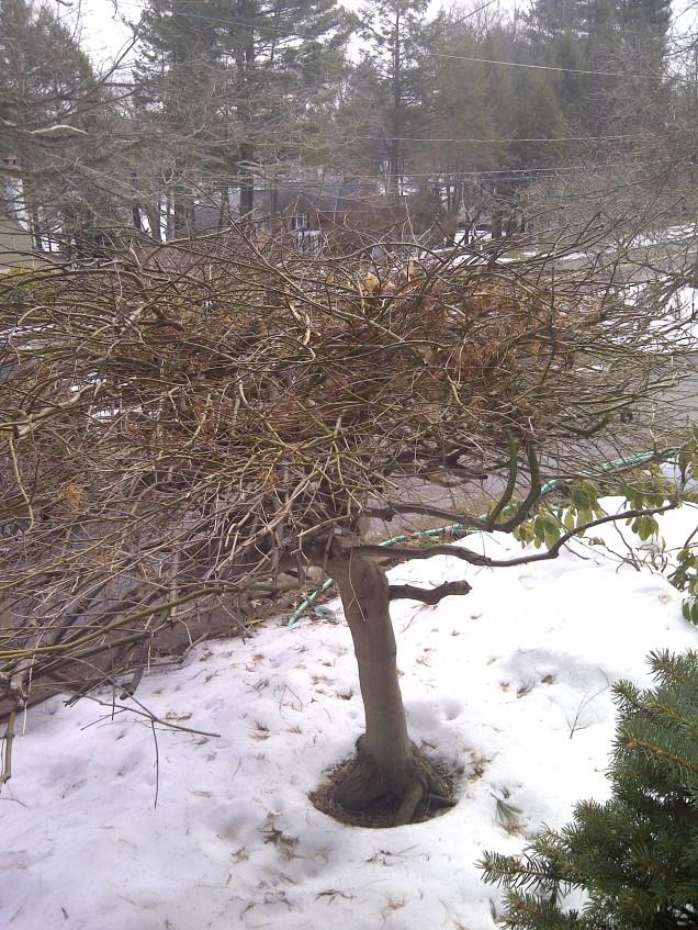 Unpruned maple--rear view