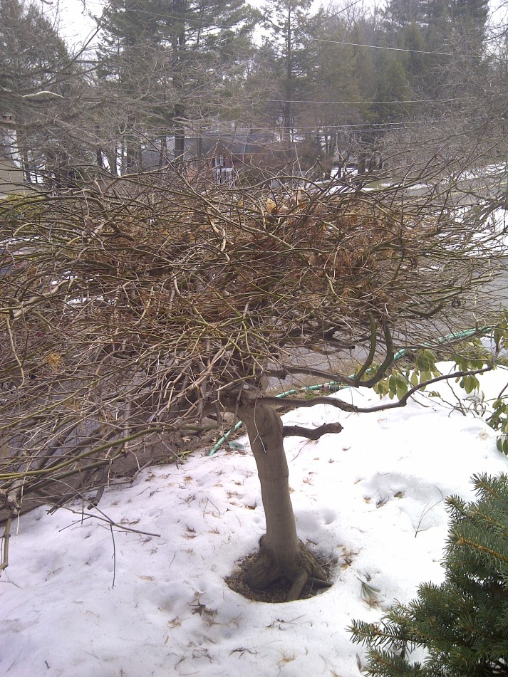 Unpruned maple--rear view