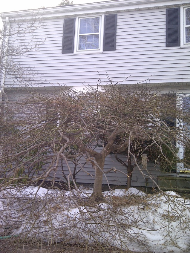 Pruned maple--front