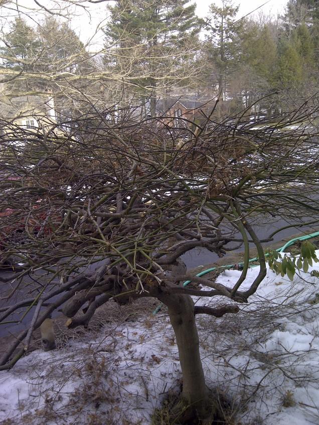 Pruned maple--rear