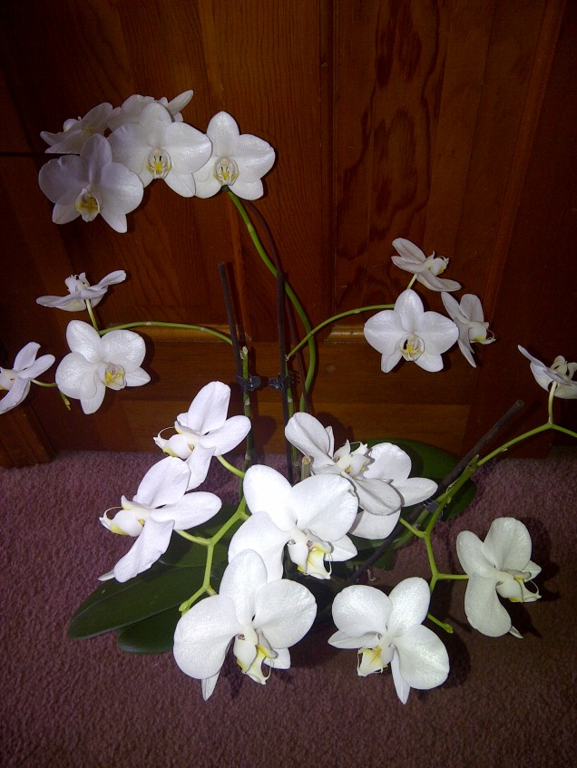 while orchid