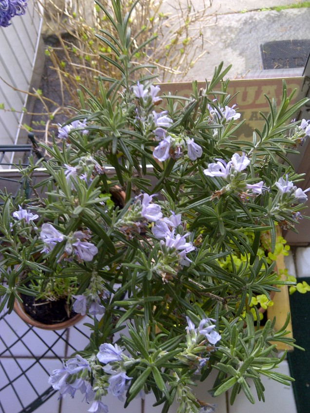 blooming rosemary topiary