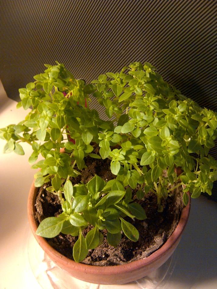 little leaf basil
