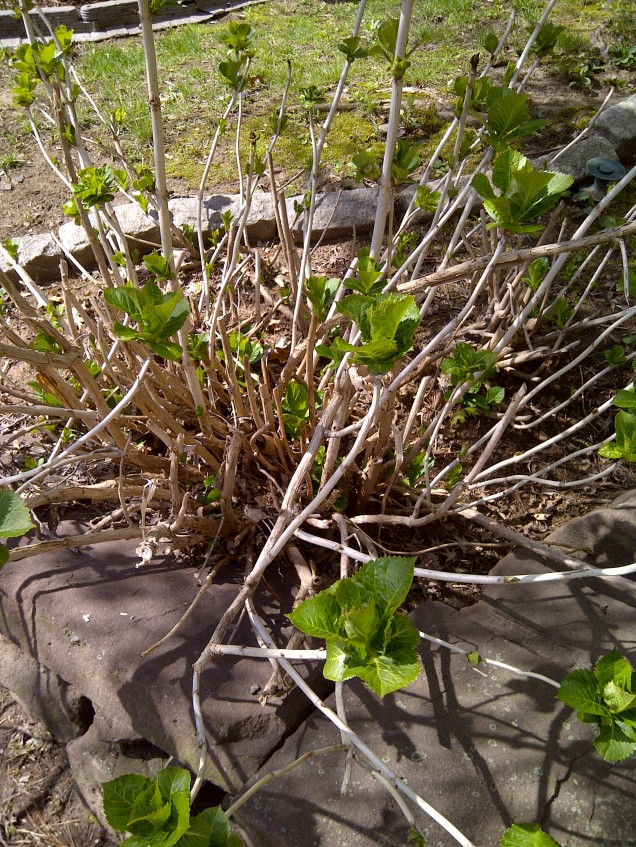 hydrangea after pruning