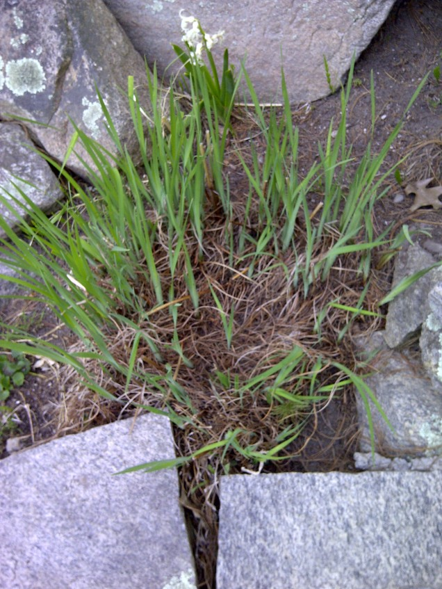 siberian iris clump