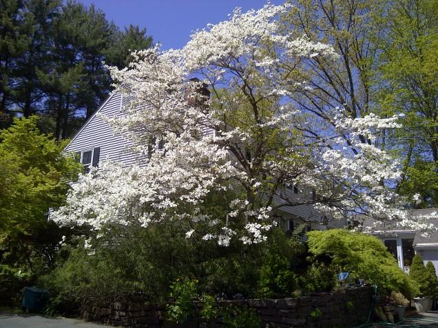 white native dogwood