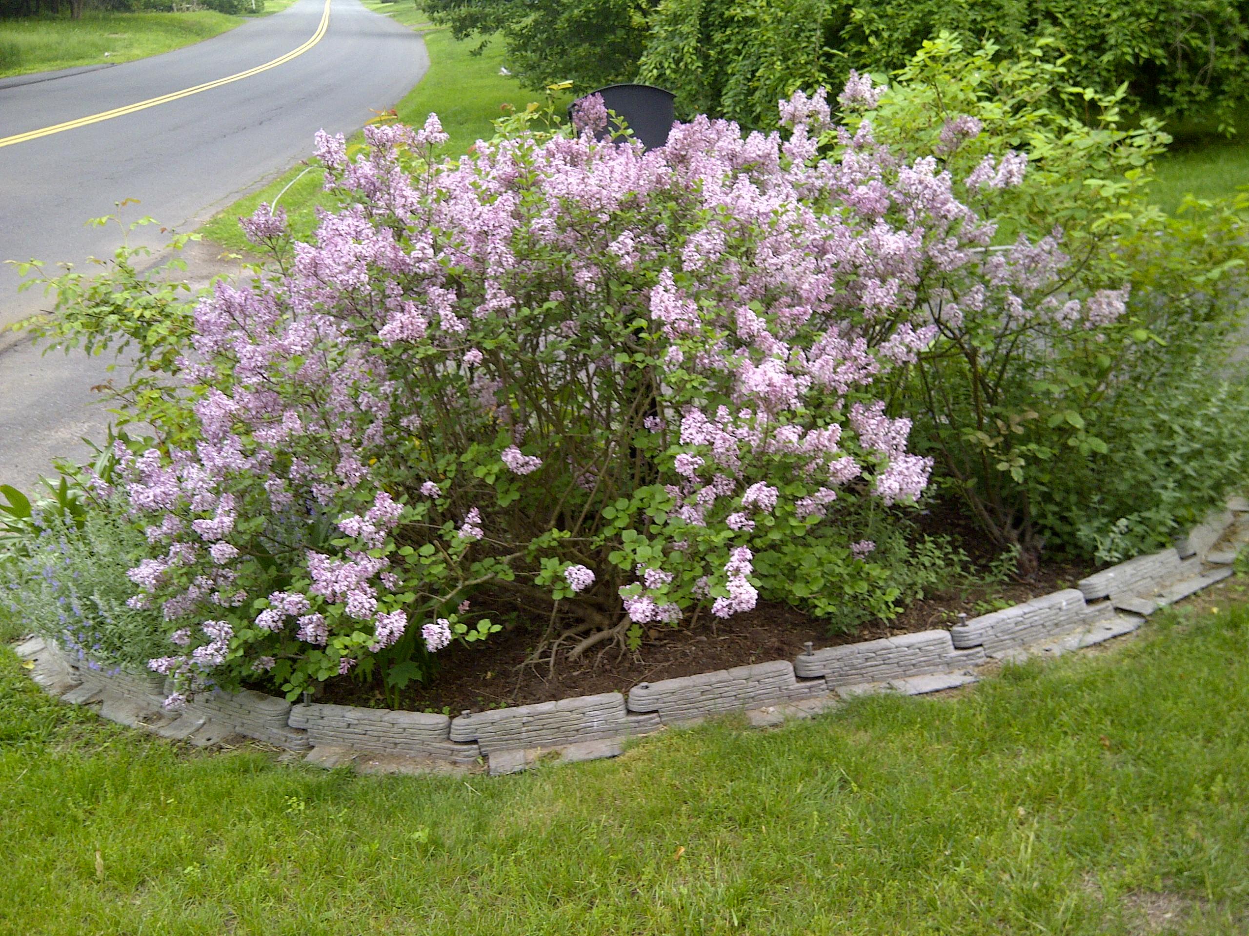Wordless wednesday later spring blooming shrubs gardendaze - Blooming shrubs ...
