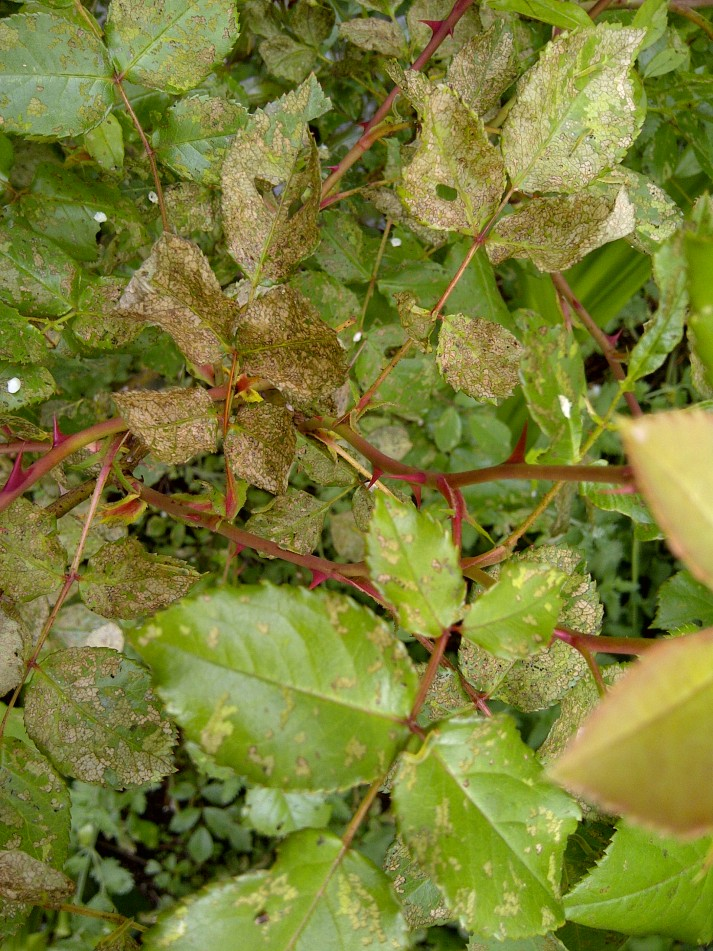 damaged rose leaves with larva