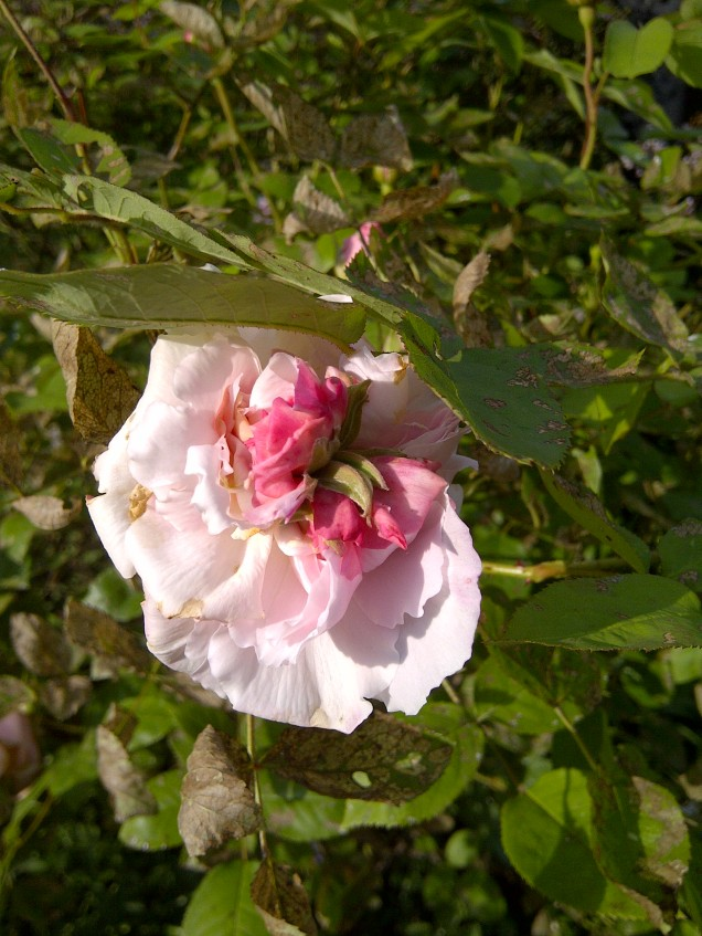 'Heritage' Rose with an issue