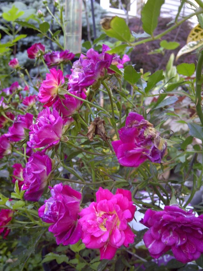 drift ground cover rose