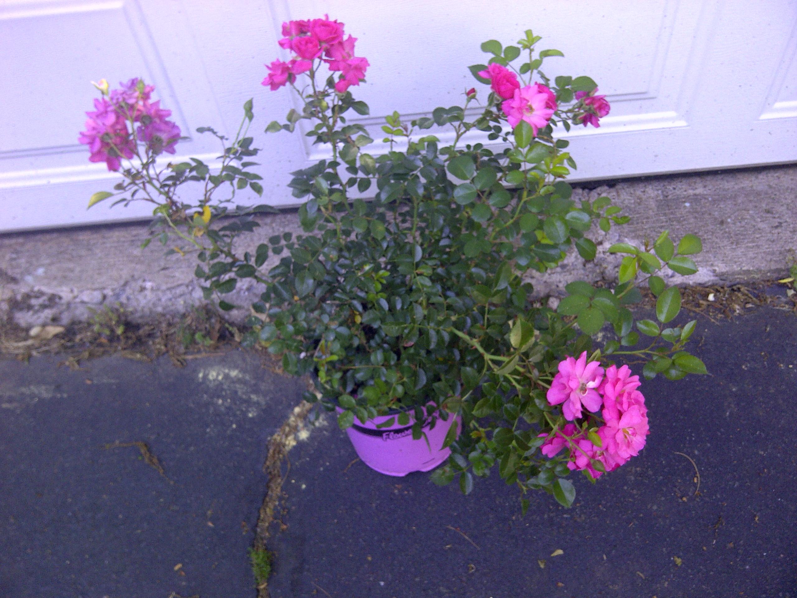 Pests and diseases gardendaze flower carpet rose dhlflorist Image collections