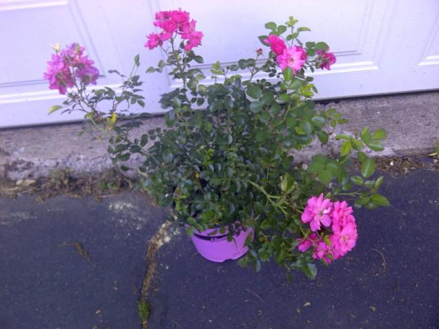 Flower Carpet rose