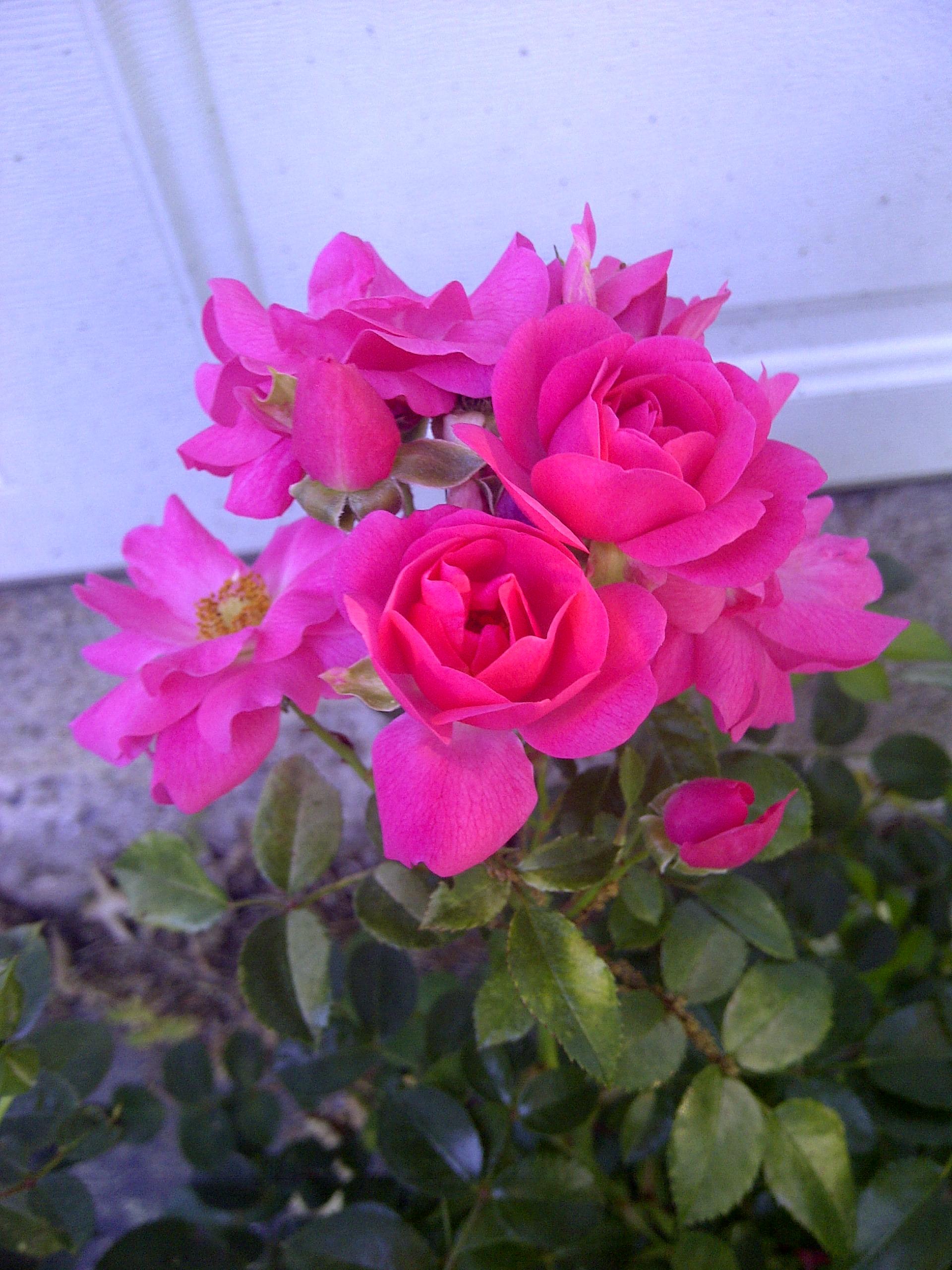 Pests and diseases gardendaze flower carpet flowers flower carpet rose dhlflorist Image collections
