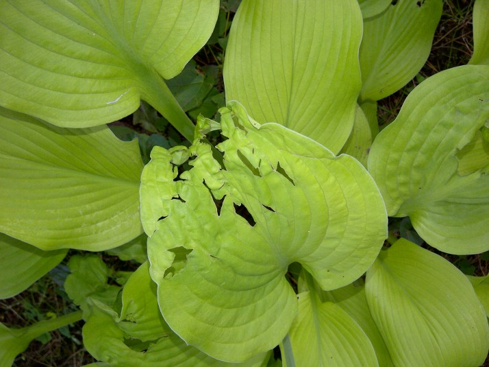 chewed hosta leaf