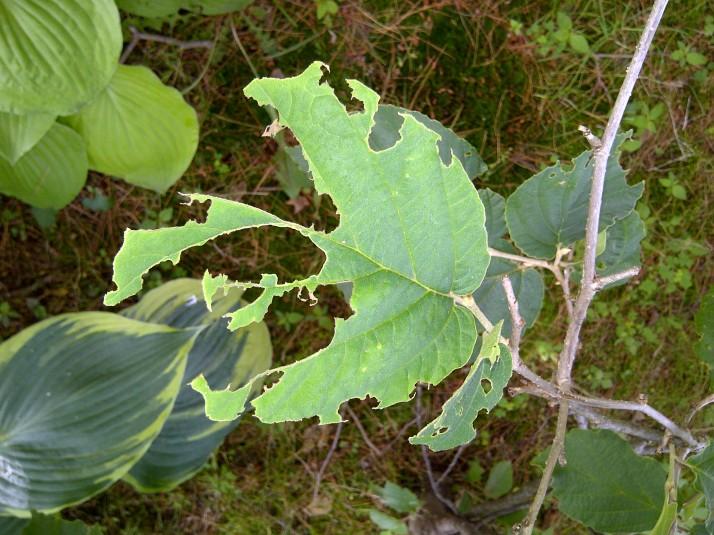 Chewed Witch Hazel Leaf