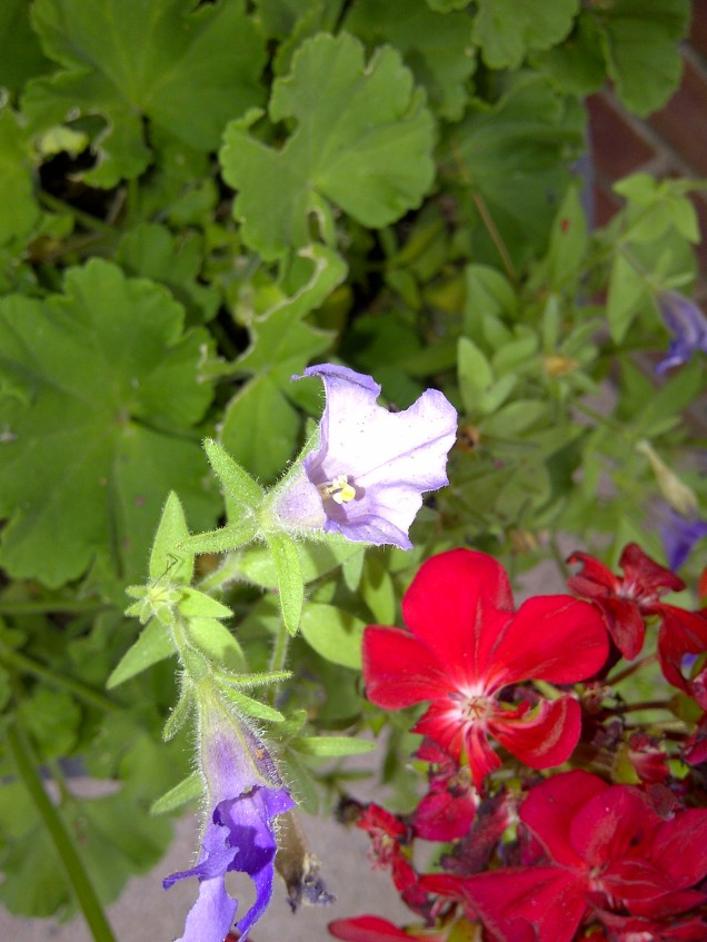 petunias chewed by earwig
