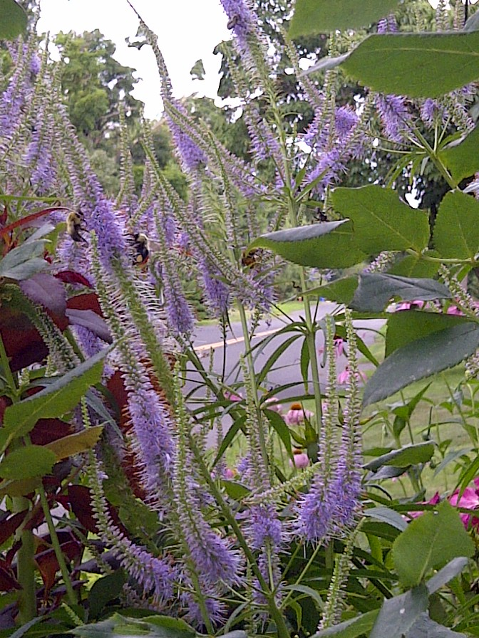 Veronicastrum with bees