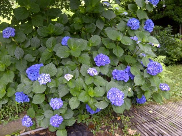 Nikko Blue