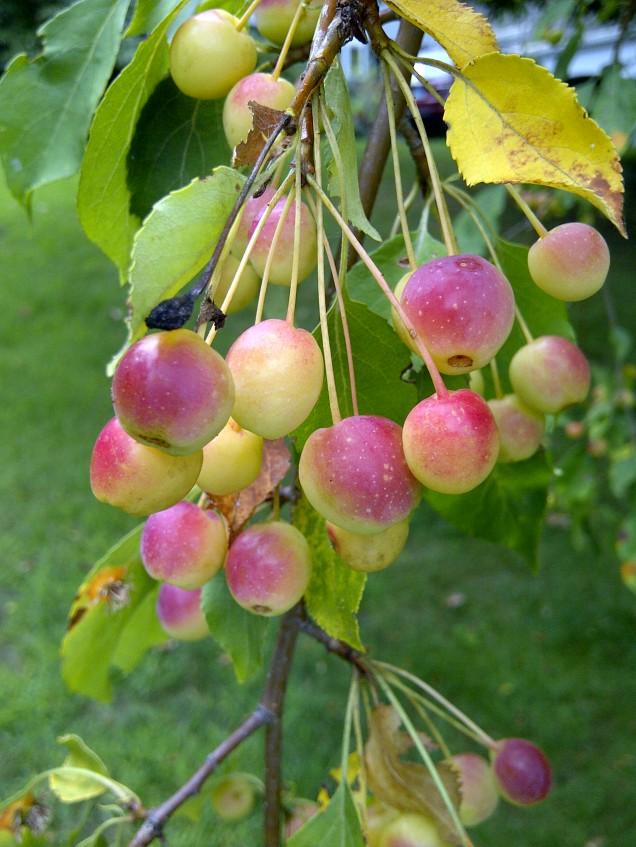 ripening crab apples