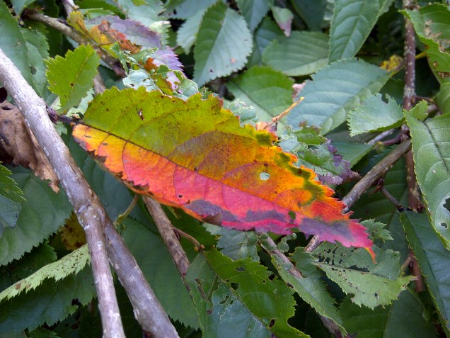 tattered leaf