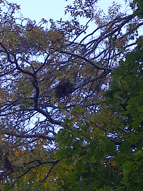 squirrel's nest in tree
