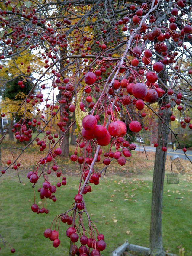 crabapple close-up