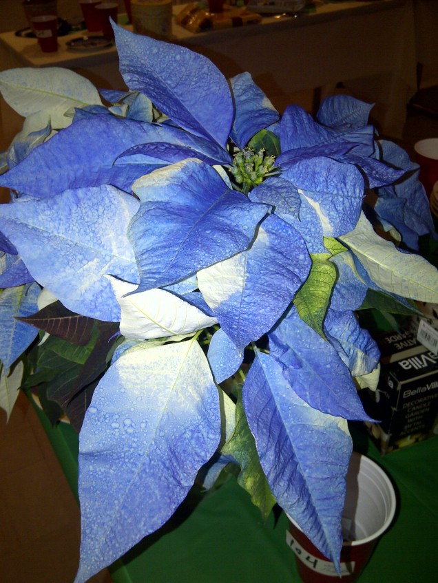 Blue Poinsettia