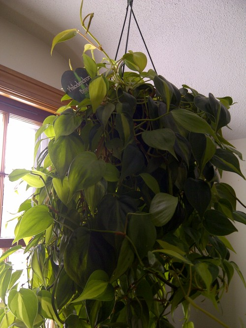 heart-leaved philodendron