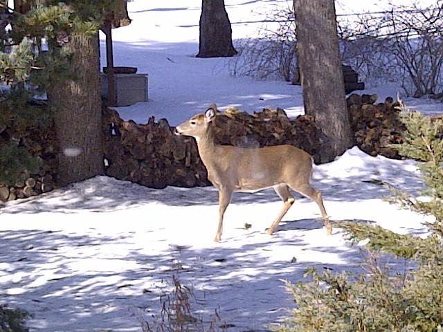 deer on alert