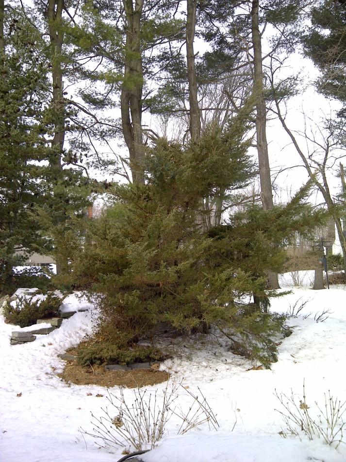 overgrown juniper