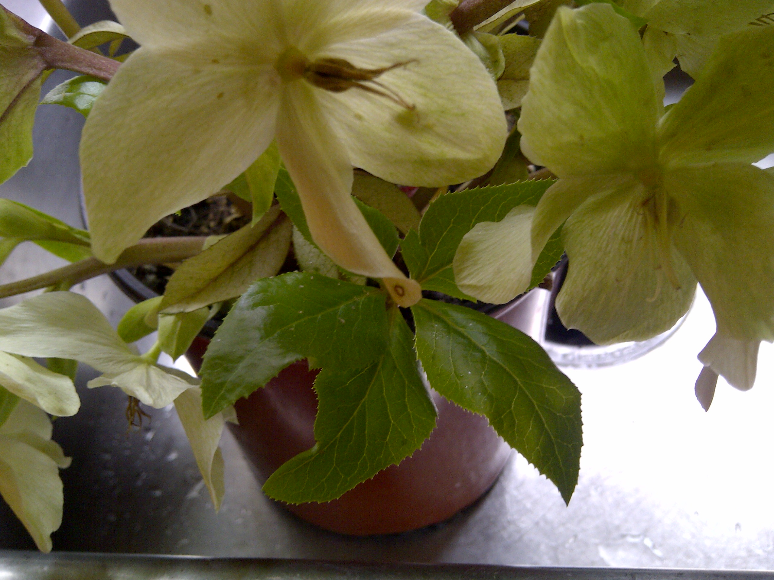 hellebore with aphids
