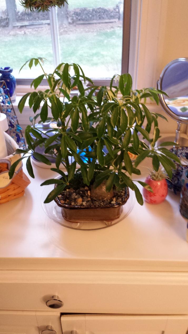 Schefflera bonsai