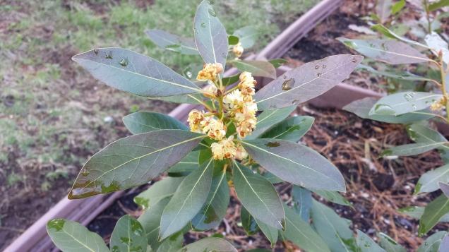 Bay plant in bloom