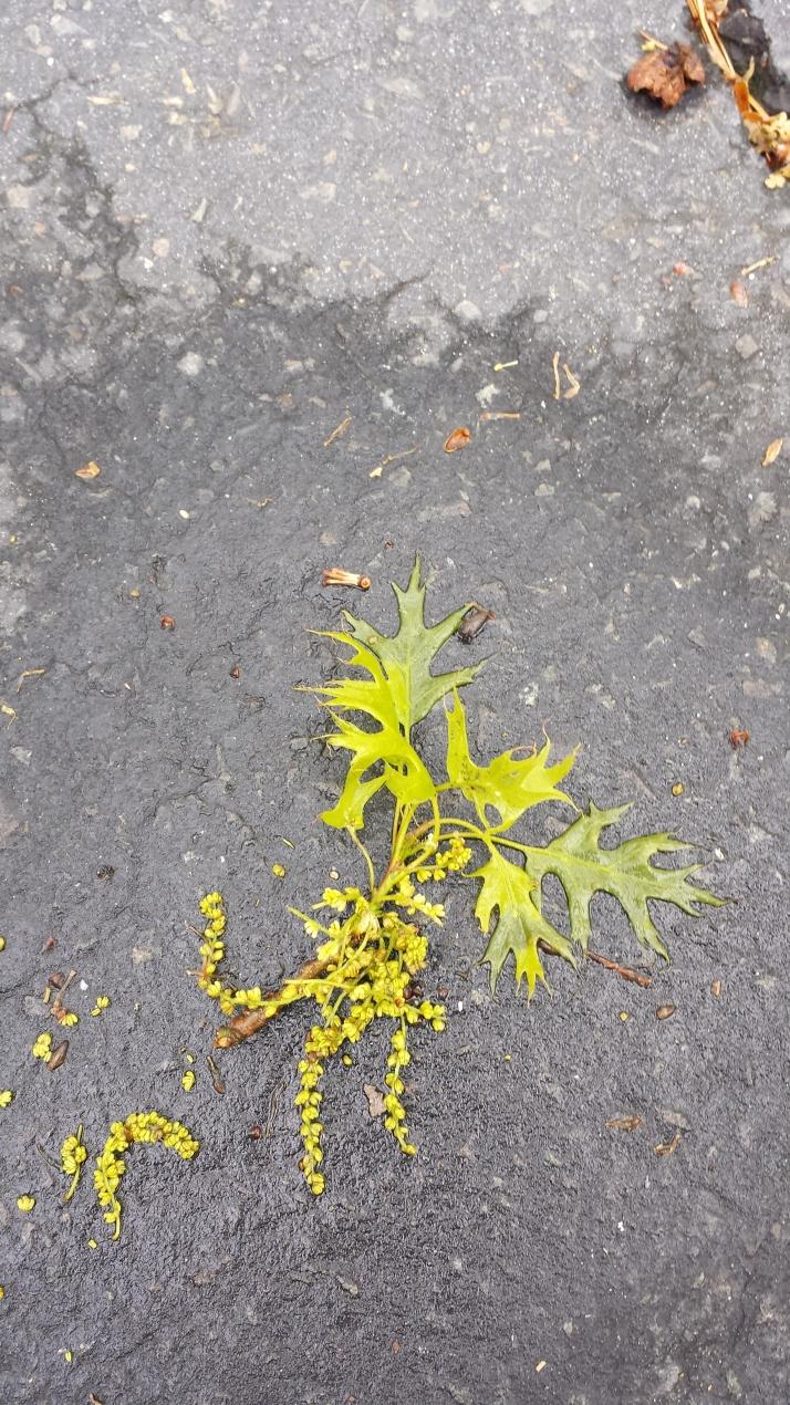 Oak leaves & flowers