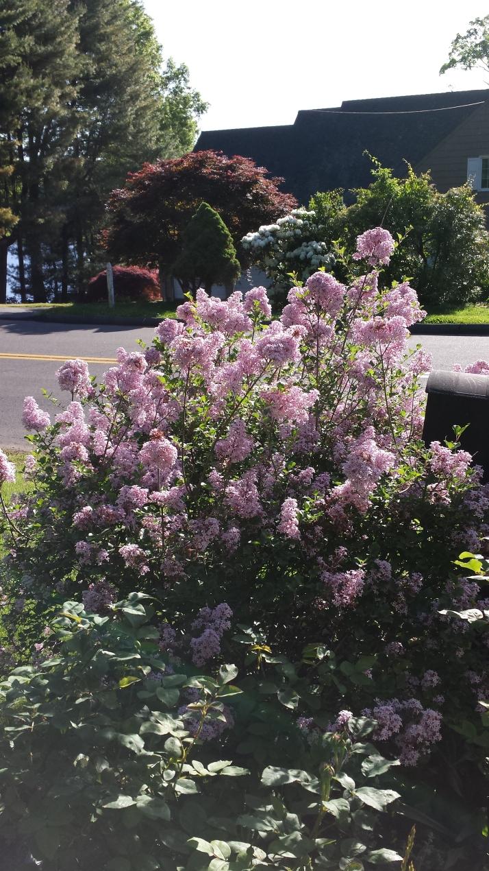 Lilac 'Paliban'