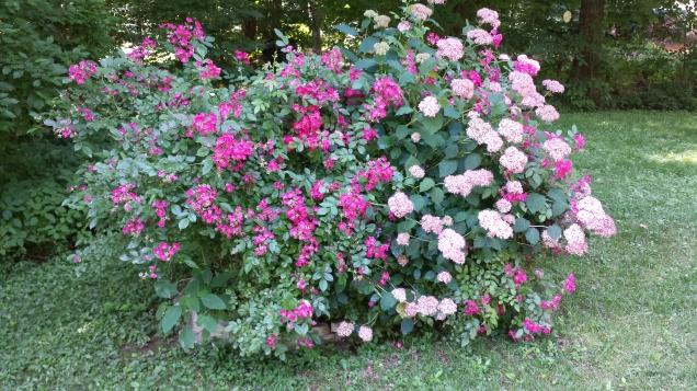 Shrub rose & hydrangea