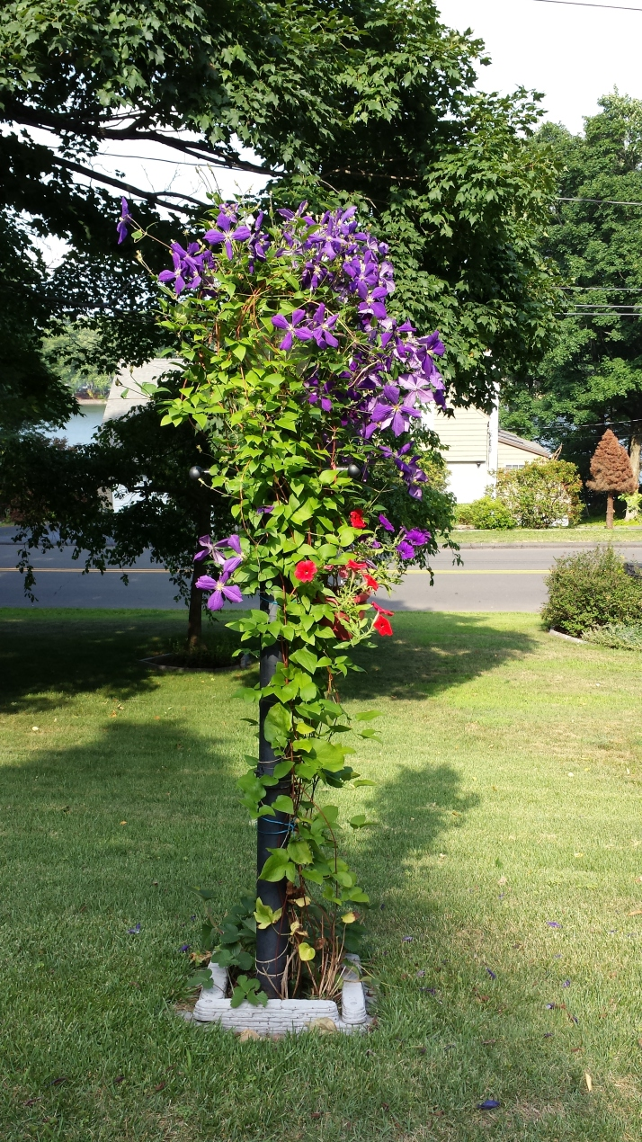 clematis and petunias